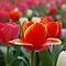 Tulip Challenge