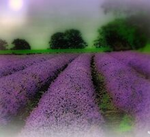Lavender Fields by naturelover