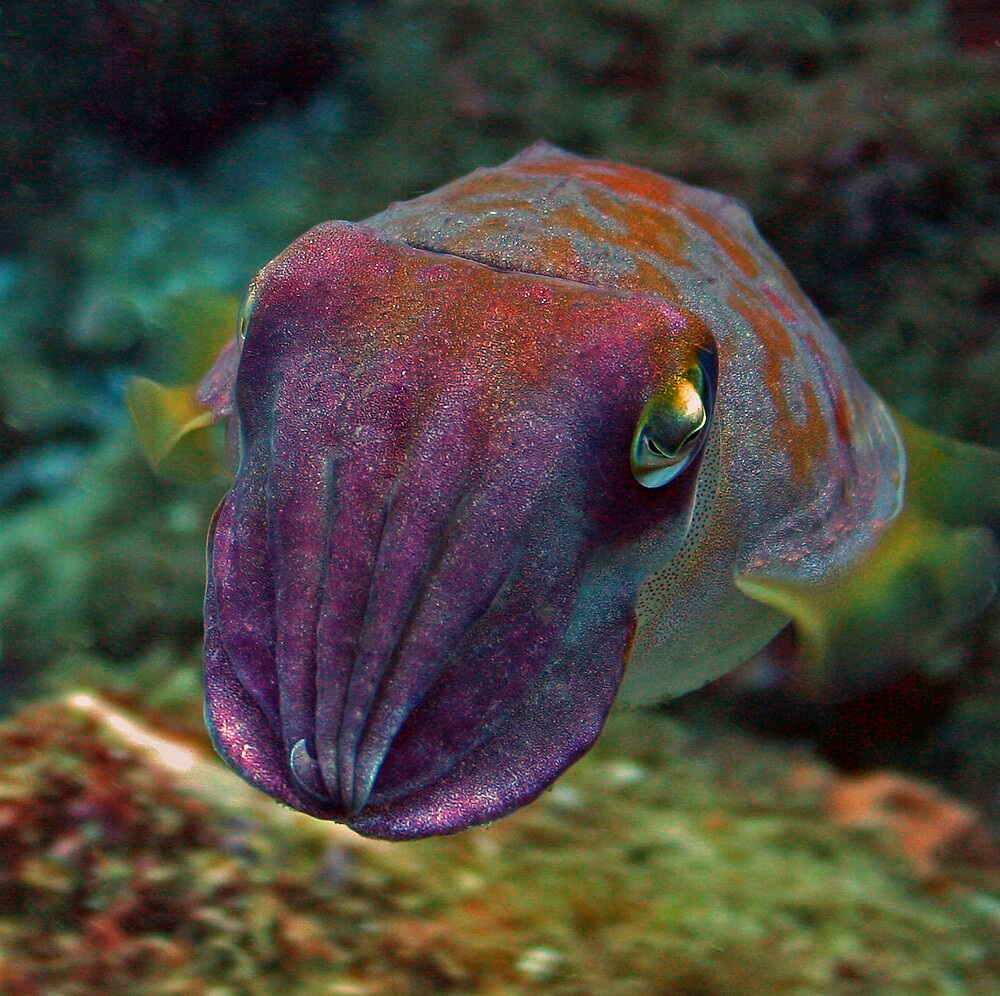 Cuttlefish to play by Blair Carter