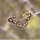 Speckled Wood Butterfly (Pararge aegeria)  by rumisw