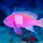 Squarespot Anthias by Erik Schlogl