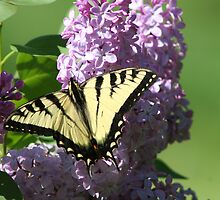 REDREAMING SWALLOWTAILS AND LILACS by REDREAMER