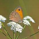 Turkish Meadow Brown by Robert Abraham