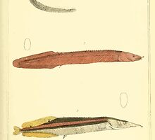 The Animal Kingdom by Georges Cuvier, PA Latreille, and Henry McMurtrie 1834  150 - Pisces Fish by wetdryvac