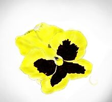 Yellow Pansy by thebigG2005