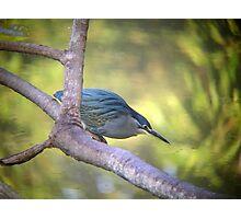 Striated Heron Photographic Print
