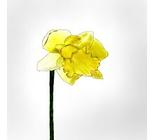Daffodil sketch Photographic Print
