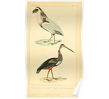 The Animal Kingdom by Georges Cuvier, PA Latreille, and Henry McMurtrie 1834 727 - Aves Avians Birds Poster