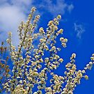 White Flower Blossoms On Blue by pmarella