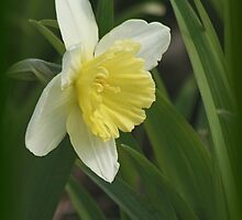 Beautiful Daffodil by Stephen Thomas