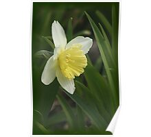 Beautiful Daffodil Poster