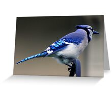 *BLUE JAY* Greeting Card