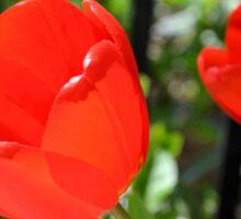Backlit Red Tulips Sticker
