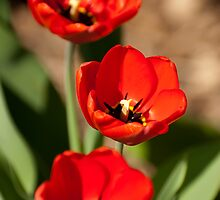 Red Tulips by Lucia Galovicova
