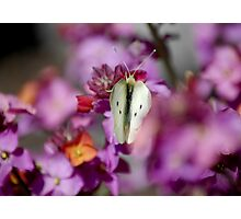 Spot the white butterfly Photographic Print