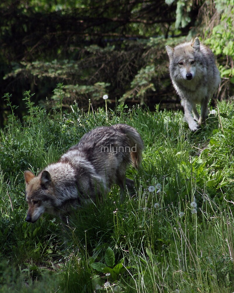 MEXICAN GREY WOLVES by mlynnd