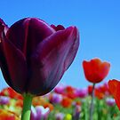 A Proud Purple Tulip by ienemien