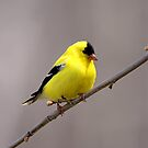 American Goldfinch by Vickie Emms