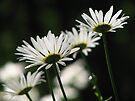 ~Daisy Shine~ by NatureGreeting Cards ©ccwri
