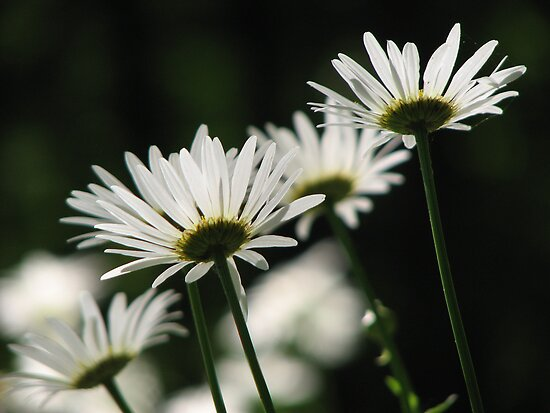 ~Daisy Shine~ by NatureGreeting Cards ©ccwri