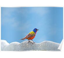 Elusive Mr. Painted Bunting Poster