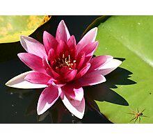 Water Lily & Spider - Vergelegen Estate 2005 Photographic Print