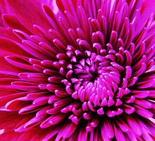 Perfect Pink Petals by Sherilee Evelyn