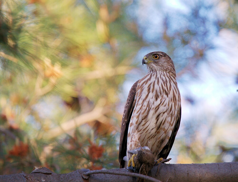 Cooper's Hawk with Prey by Susan Gary