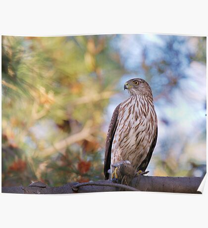 Cooper's Hawk with Prey Poster