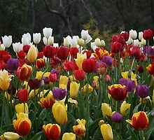 Tulips by Sharon Selby