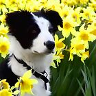 Holly the collie by sandgrouse