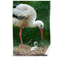 mother and baby stork Poster
