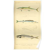 The Animal Kingdom by Georges Cuvier, PA Latreille, and Henry McMurtrie 1834  142 - Pisces Fish Poster