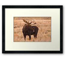 Bull Moose, Gros Ventre River, Wyoming Framed Print