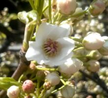 White Cherry Blossoms V1 Sticker