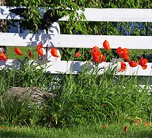 Poppies Along White Fence by mltrue