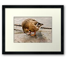 Ladies and gentlemans, the bow from a harlequin duck Framed Print