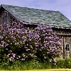 Lilac Shed by cherylc1