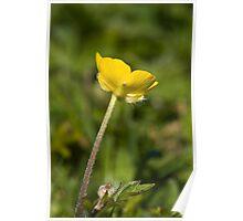Creeping Buttercup (Ranunculus repens) Poster
