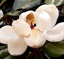 Magnolia Blossom by WTBird