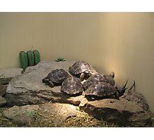 Baby turles Photographic Print