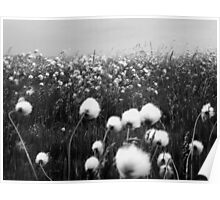 Cotton grass in the Wind Poster