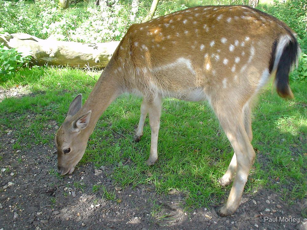 deer by Paul Morley
