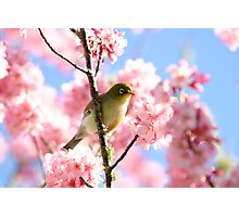 Wax Eye in Cherry Blossoms Photographic Print