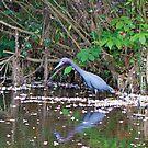 Little Blue Heron by imagetj