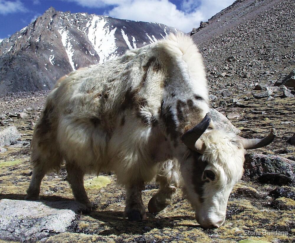 Yak, around the Kora Mt Kailash, Tibet by V Stone