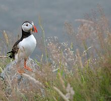 Puffin by Melinda Gaal