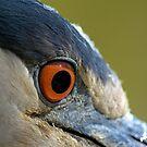 Black Crowned Night Heron Eye by imagetj