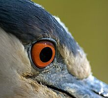 Black Crowned Night Heron Eye by imagetj