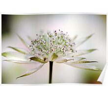 Astrantia Dream Poster